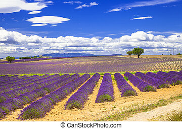 violet fields of blooming lavande in Provence, France
