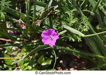 violet flower detail in spring summer time