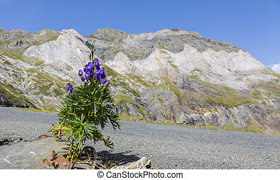 Violet Flower in the Circus of Troumouse - Pyrenees Mountains