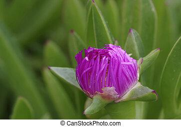 violet flower of cactus
