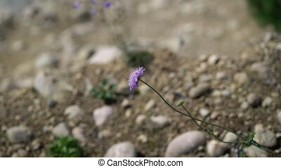 Violet flower on rocks and sandy ground