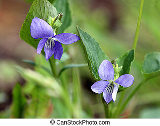 Violet flower Viola odorata in a forest, spring.