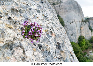 Violet flowers grow on the rock