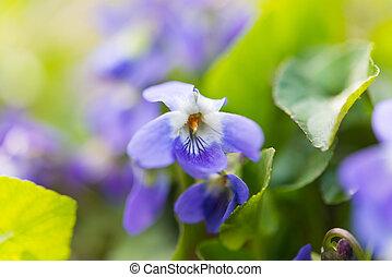 violet flowers growing in the meadow