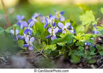 violet flowers growing in the spring