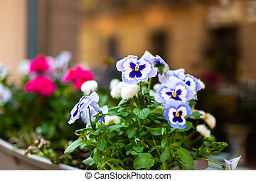 Violet flowers in a pot on the windowsill