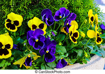 Violet flowers in the garden on a clear sunny day, selective focus.