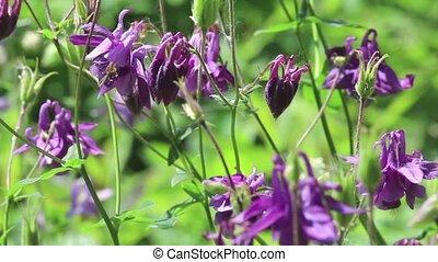 Violet flowers of aquilegia