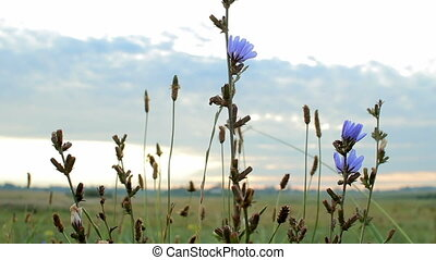 Violet flowers of the field against the sky