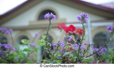 Violet flowers on the background of the house