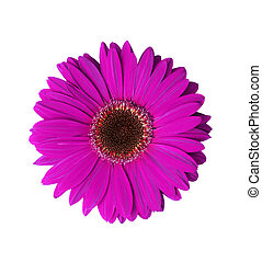 Violet Gerbera Flower - Beautiful Violet Gerbera flower ...