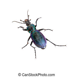 Violet ground beetle, beautiful insect isolated on white. - ...