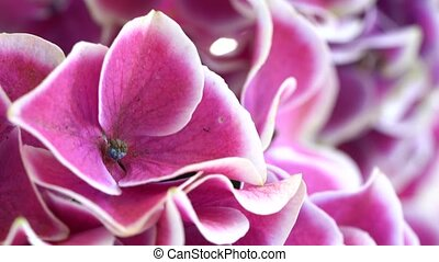 violet hortenzia flower with sprinkling and cleaning water
