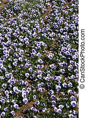 violet in bloom in spring season