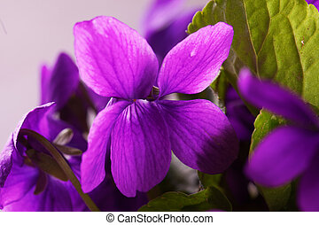 Violet in close up over white background