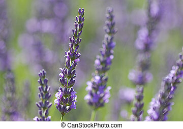 violet lavenders in a field