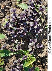violet laves of basil. Carved leaves.