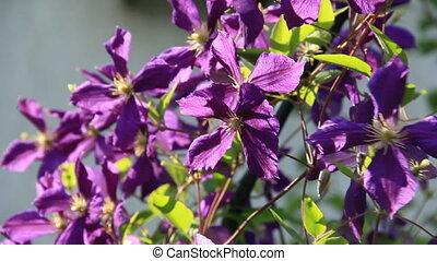 Violet liana flowers in sunlights swinging on the wind