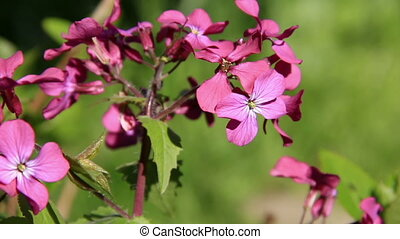Violet lilac wildflowers