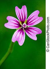 violet flower malva alcea moschata sylvestris lavatea arborea punctata thuringiaca malvacee trimestris