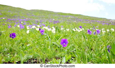 Violet on the green hillside - Mountain violets against a ...