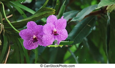 Violet Orchid flowers