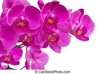 violet orchid flowers isolated on white background