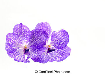 Violet orchid on white