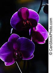 Violet orchids