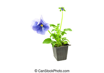 violet pansy\'s sprout in plastic box