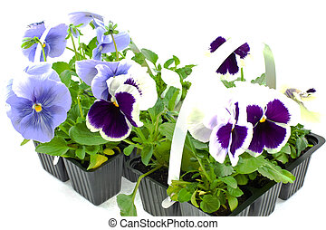 violet pansy\'s sprouts in plastic boxes