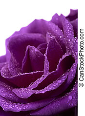 violet rose with water drops isolated
