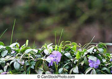 Violet small flowers in the garden background. Beautiful and colorful spring.