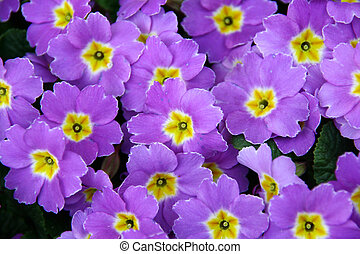 violet spring flowers texture good to be used as a ...