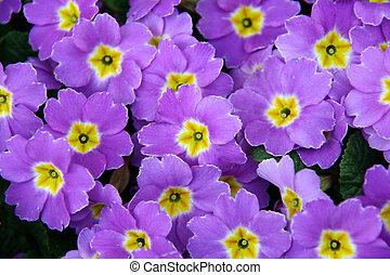 violet spring flowers