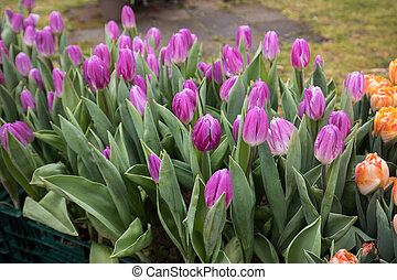 violet tulips flowers blooming in a garden