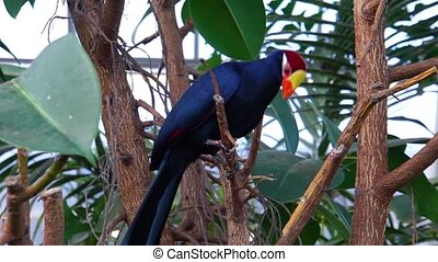 Violet turaco sitting on a tree branch, popular exotic bird ...