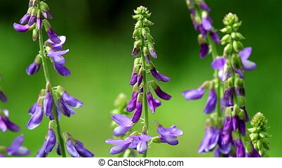 Violet vetch flowers - Three vetch flowers close view on a...