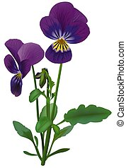 Violet (Viola odorata) - High detailed and coloured ...