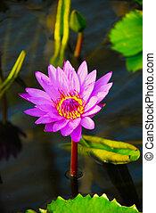violet water flower