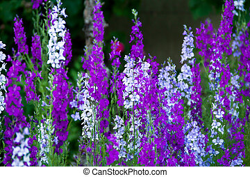 Delphinium - violet, white and blue Delphinium in the garden