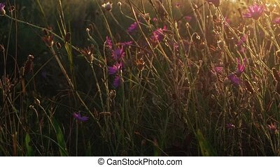 Violet wildflowers in blinking sunset light - Violet...