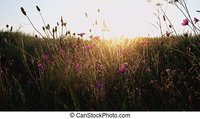 Violet wildflowers in grass shivering on wind in front of...