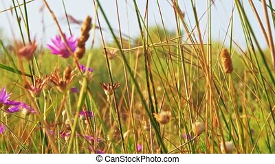 Violet wildflowers in grass shivering on wind - Violet wild...