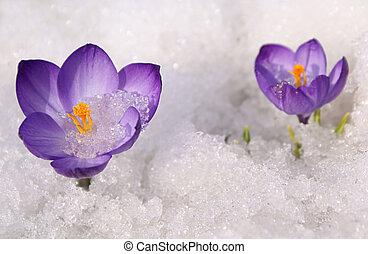 violeta, azafranes