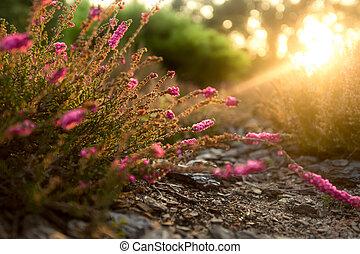 violeta, campo lavanda, en, temprano, soleado, mañana