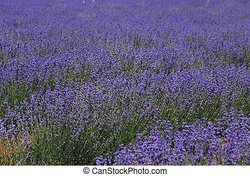violeta, campos, de, cultivado, lavanda