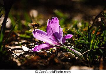 violeta, flor mola, -, açafrão