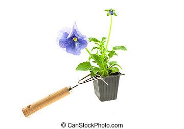 violeta, pansy\'s, broto, em, plástico, caixa, e, cultive ferramenta