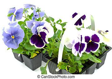 violeta, pansy\'s, brotos, em, plástico, caixas